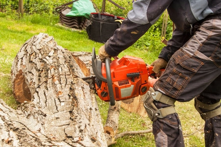 Woodcutter cuts the chain saw. Professional Lumberjack Cutting a big Tree in the garden Stock Photo