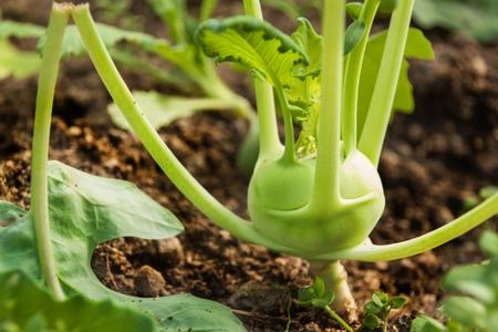 Kohlrabi in the greenhouse. Growing vegetables. Vegetarian food Zdjęcie Seryjne