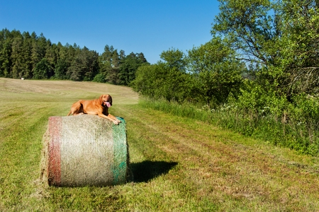 hungarian pointer: Hungarian pointer lies on a haystack. Agricultural work on pasture in the Czech Republic. Rest after work