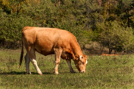 black angus cattle: Cows on grazing. Autumn on the farm.  Cattle breeding. Agricultural farm in the Czech Republic Stock Photo