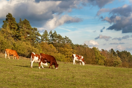 black angus cattle: Herd of cows grazing near the forest.  A sunny autumn evening on the pastures