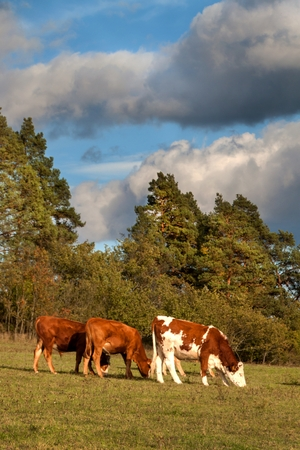 Herd of cows grazing near the forest.  A sunny autumn evening on the pastures