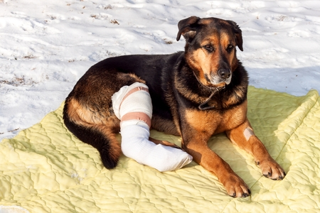 Sick dog lying on a blanket. Treatment of injured hind legs of a dog Stock Photo