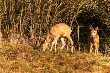 Deer in wildlife. Deer in the bushes. Wildlife in the Czech Republic Stock Photo