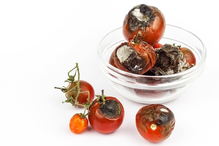 Moldy tomatoes in a glass bowl on a white background. Unhealthy food. Bad storage of vegetables. Mold on food