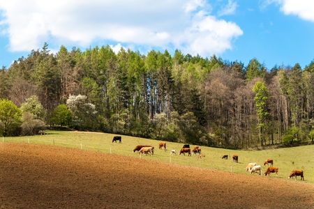 Cows grazing near the forest in the Czech Republic. Farm life. Milk production. Spring day on pasture.