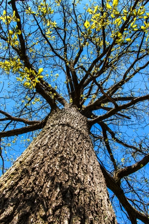View of the top of an oak tree in spring. Branches of mighty oak tree against blue sky.