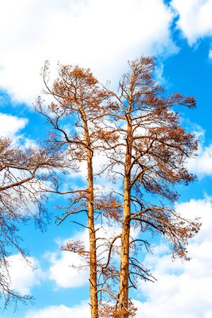 Withered pine tree on blue sky. Hot summer day. Drought in Europe. Climate change. Drying of trees in the Czech Republic. Фото со стока
