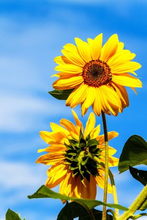 Sunflower and bee. Growing sunflower oil. Agricultural crops. Hot summer day. Фото со стока
