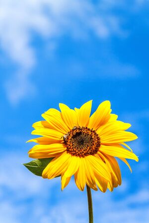 Sunflower and bee. Growing sunflower oil. Agricultural crops. Hot summer day. Banque d'images - 128378143