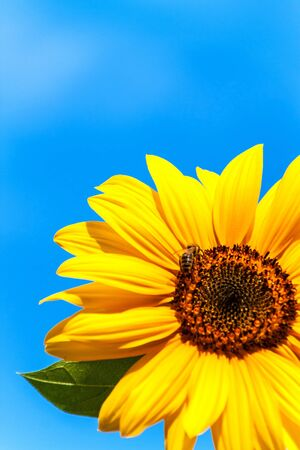 Sunflower and bee. Growing sunflower oil. Agricultural crops. Hot summer day. Archivio Fotografico - 128378140