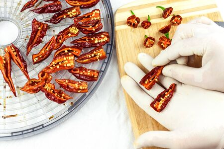 Male gloved hands sliced hot chilli pepper (Bhut Jolokia Chocolate). Preparation for drying. Sale of hot spices. Healthy spices.