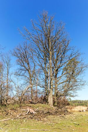 Withered oak trees on the edge of a green meadow. Trees broken by gale. Fallen branches. Morning in the forest. Stockfoto