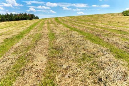 Hay harvest on a freshly mown meadow in Czech Republic. Drying grass. Cattle feed. Mowed meadow.
