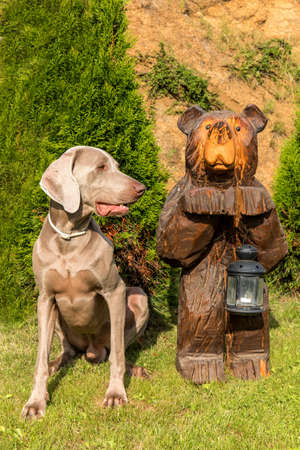 Sitting Weimaraner and wooden bear. Hound. Bear statue. Dog on the hunt.