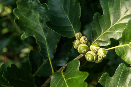 Oak branch with green leaves and acorns on a sunny day. Oak tree in summer. green acorn and leaves on natural background 版權商用圖片