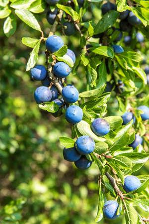 Prunus spinosa (blackthorn, or sloe). The fruits of blackthorn (Prunus spinosa). Blackthorn bush with berries