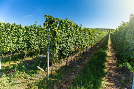 Vineyard with long lines in the central Europe - Czech Republic (South Moravia Region). Summer morning in the vineyard. Wine growing.