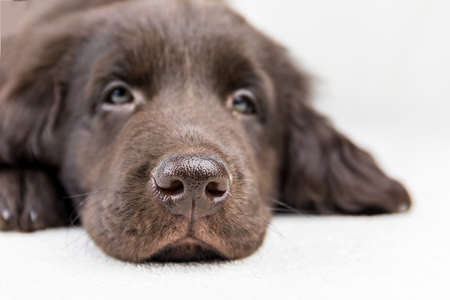 Brown flat coated retriever puppy. Dog's eyes. Retriever on a white background. Hunting dog puppy.