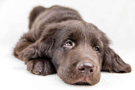 Brown flat coated retriever puppy. Dog's eyes. Retriever on a white background. Hunting dog puppy. Banque d'images