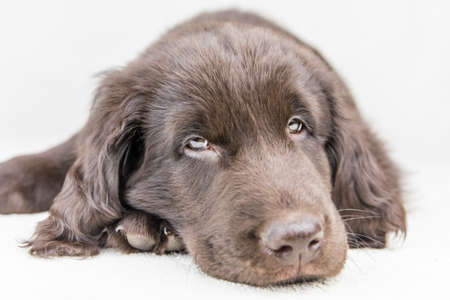 Brown flat coated retriever puppy. Dog's eyes. Retriever on a white background. Hunting dog puppy. Stock Photo