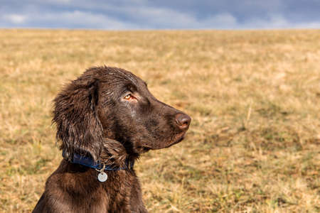 Retriever puppy head. Brown flat coated retriever puppy. Dog's eyes. Hunting dog in the meadow. Banque d'images