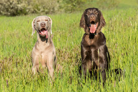 Spring morning on the hunt with dogs. Brown Flat coated retriever puppy and Weimarane on a spring meadow. Hunting season.