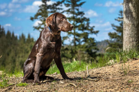 Hunting dogs in the forest. Brown flat coated retriever puppy. Hunting season. Sunny day with dog.