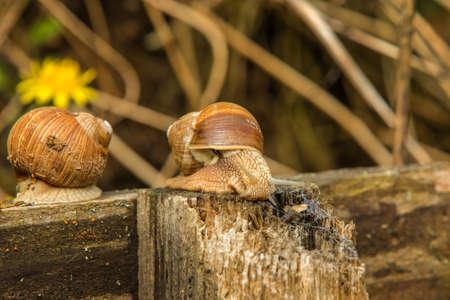 snail in the garden. snail in shell crawling on road, summer day in garden. Standard-Bild