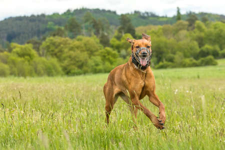 Dog on a spring meadow. At the dog wearing a muzzle. Running Rhodesian Ridgeback with muzzle and an electric collar. Standard-Bild