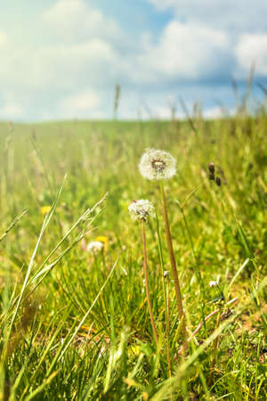 Withered Dandelions in the Meadow. Green spring meadow with dandelions in sunlight. Spring meadow. Latin name: Taraxacum officinale Standard-Bild