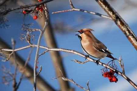 songbird: european songbird on branch in winter, colorful bird on blue background