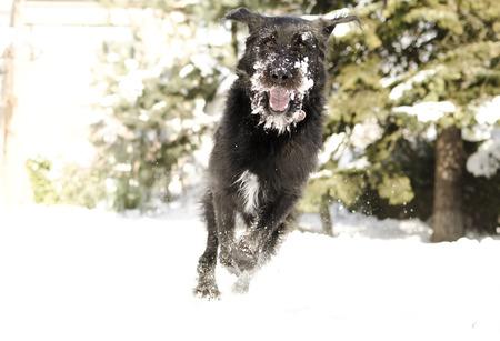 black bitch: Dog having fun in snow