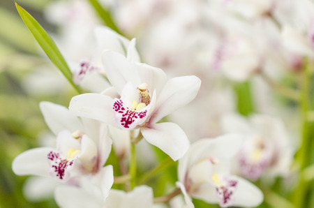 White orchidaceae with purple freckles Stock Photo