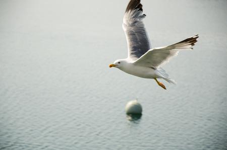 spreaded: Seagull in flight Stock Photo