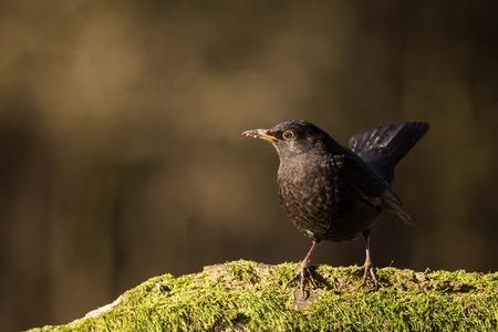 Close up Eurasian Blackbird, sitting bird, bird in the branch, black bird, Europe, Czech republic, south Moravia Stock Photo