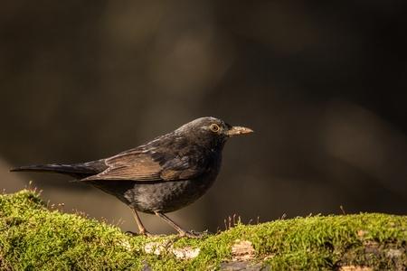 close up Eurasian Blackbird, sitting bird, bird in the branch, black bird, europe, czech republic, south moravia