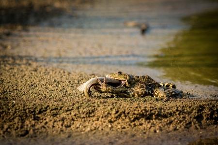 Frog eats fish, Europe, south Moravia, rarity Stock Photo