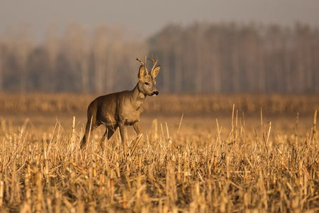 close up Roe deer, deer in the field, autumn sunrise in nature, animal in its natural environment, europe, hungary