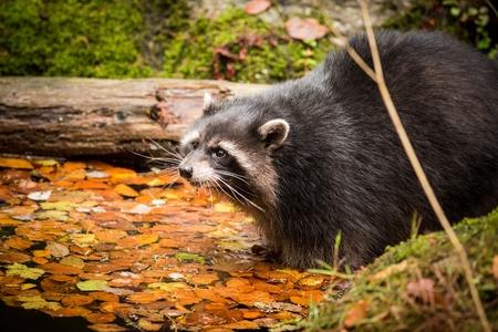 Close Up Raccoon Dog, wildlife scene from nature