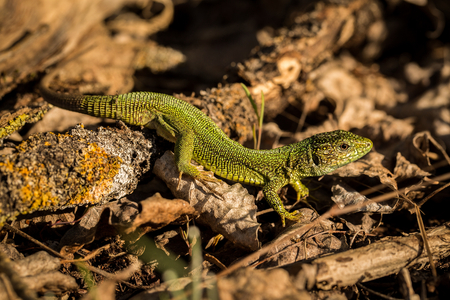 close up Green Lizard, animal in its natural environment, lizard basking in the sun, europe, hungary Stock Photo