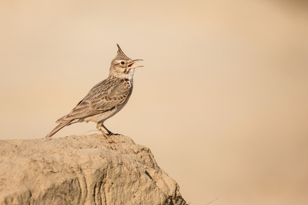 close up Crested Lark, one bird, spotted bird, europe, czech republic, south moravia