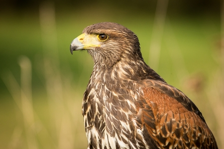 Harriss Buzzard close up, predator on the prowl, brown bird with a hooked beak, Europe