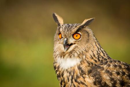 Eagle Owl in the nature forest habitat. Big Eurasian Eagle Owl sitting on stone, Eurasian Eagle with kill. Owl autumn photo.