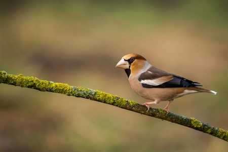 Hawfinch (Coccothraustes coccothraustes) sitting in the branch, colorful bird, bird in the branch, europe, czech republic, south moravia Фото со стока