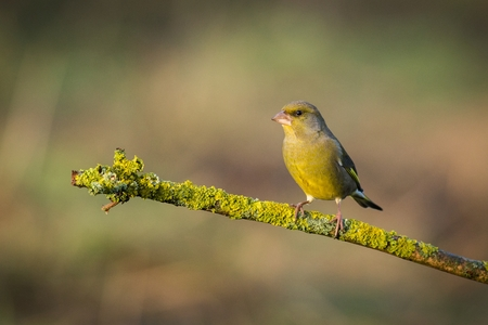 European Greenfinch sitting in the branch, bird in the branch, green and yellow bird, wildlife scene from nature. Bird in the nature habitat, europe, czech republic, south moravia