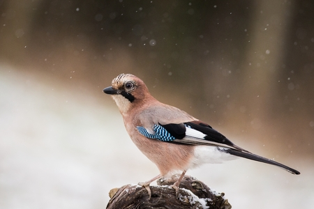 Eurasian jay, Garrulus glandarius, sitting on a branch in nature. Wildlife. Europe, Czech republic. Eurasian jay (Garrulus glandarius), in profile with a nice autumn colored bokeh in the background.