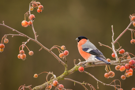 Bullfinch, Pyrrhula pyrrhula, sitting on branch, South Moravia, Czech republic, red male songbird with green and yellow clear background, Imagens