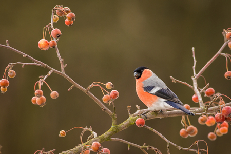Bullfinch, Pyrrhula pyrrhula, sitting on branch, South Moravia, Czech republic, red male songbird with green and yellow clear background, Archivio Fotografico