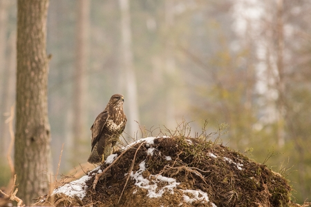 Wildlife scene from snowy nature. Close up Buzzard, predator on the prowl, brown bird with a hooked beak, Europe, czech republic, moravia